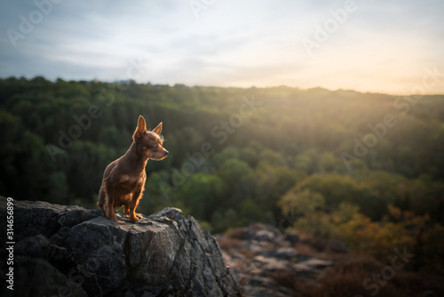 Photographie  Crossbreed puppy - sunset