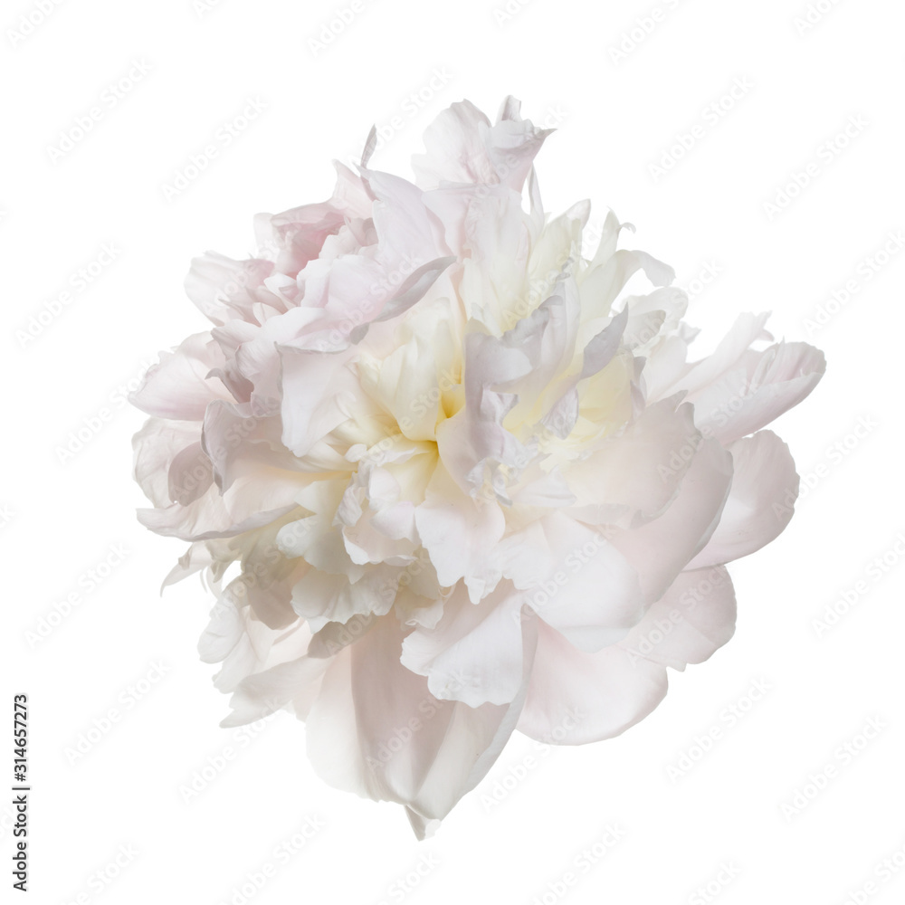 Fototapeta Gently pink peony flower isolated on a white background.