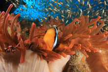 Clark's Anemonefish (Clownfish) Fish  In Red Anemone