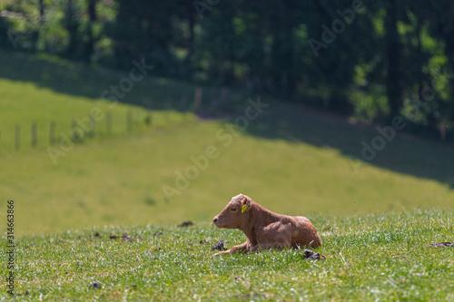 Leinwand Poster Resting maverick lies on green summer meadow