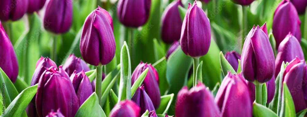 Fototapeta Violet tulips in amazing spring garden detail. Panorama or banner concept.