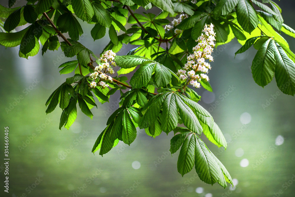 Fototapeta Blossoming chestnut tree in spring detail. Beautiful green twig or leaves and flowers with blur bokeh background.