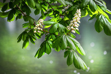 Blossoming Chestnut Tree In Spring Detail. Beautiful Green Twig Or Leaves And Flowers With Blur Bokeh Background.