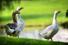 White Domestic Geese And One W...