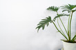 Monstera tree with white wall background