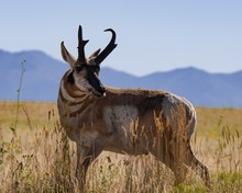 Brown Deer Standing In A Grass...