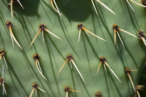 Photo épines de cactus, figuier de barbarie