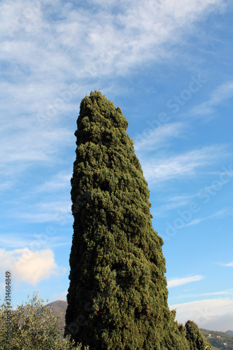 Photo Cipresso Cupressus svettante nel cielo
