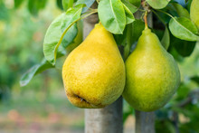 Ripe Juicy Pears Hang On A Tre...
