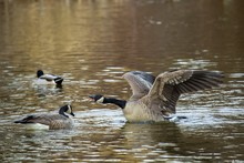 Arguing Canadian Geese In A Lake Under Sunlight With A Blurry Background