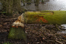 Tree In A Wetland, Felled By A...