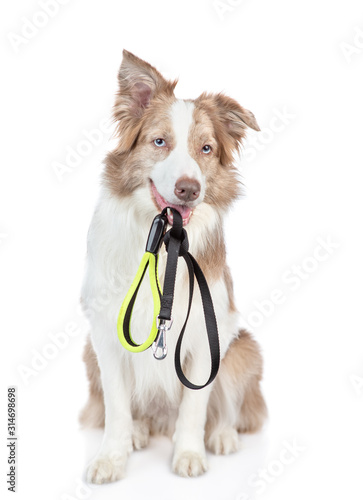 Photo Border collie dog holds a leash in its mouth