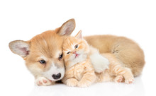 Pembroke Welsh Corgi Puppy Hugs Cute Tiny Kitten. Isolated On White Background