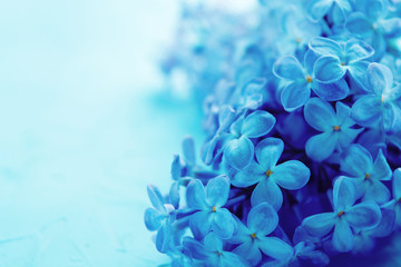 Classic blue toned photo of spring blooming lilac flowers on concrete background with copy space