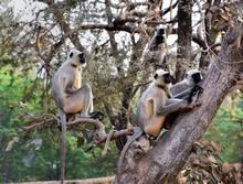 Matriarch Long Tailed Monkey On Guard Duty