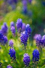 Purple Decorative Flowers Of M...
