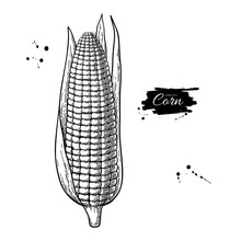 Corn Hand Drawn Vector Illustr...