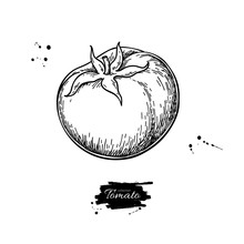 Tomato Vector Drawing. Isolate...