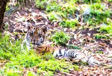 Authoritative Sumatran Tiger