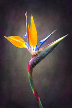 Fine Art Strelitzia Flower