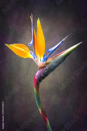Obraz na plátně fine art Strelitzia flower