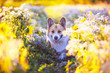 Leinwandbild Motiv cute portrait of a beautiful Corgi dog puppy sitting on a Sunny bright blooming meadow