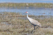 Sandhill Crane Standing In Marsh With Blue Water Showing Environment