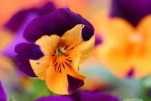Fond Floral Pensées