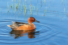 Male Cinnamon Teal Swimming In...