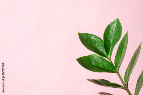 Fototapeta Green plant with leaves on a pink background with copyspace obraz