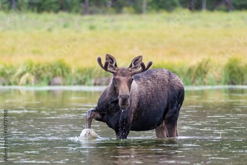 Shiras Moose in Colorado. Shiras are the smallest species of Moose in North America