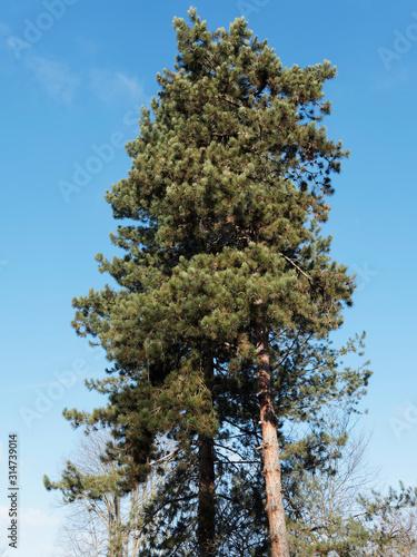 (Pinus sylvestris) Hohe Waldkiefer mit schwache Äste im unteren Stammabschnitt Fototapet