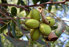 Raw Pecan Nuts (Carya Illinoi...