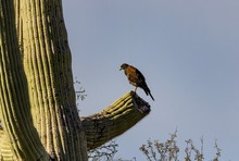 Hawk Hunts From Cactus