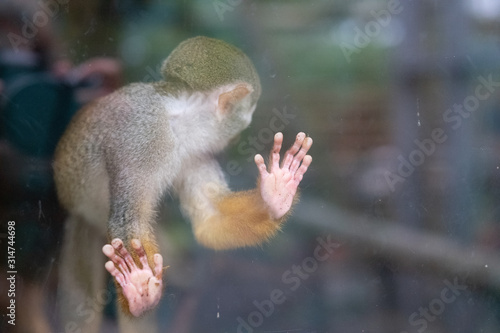 Squirrel monkey behind glass at Newquay ZOO Wallpaper Mural