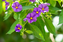Blue Potato Bush (Paraguay Nightshade, Lycianthes Rantonnetii) Flowers