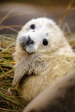Grey Seal Pup In Grass White Coat