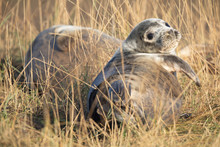 Grey Seal In Grass