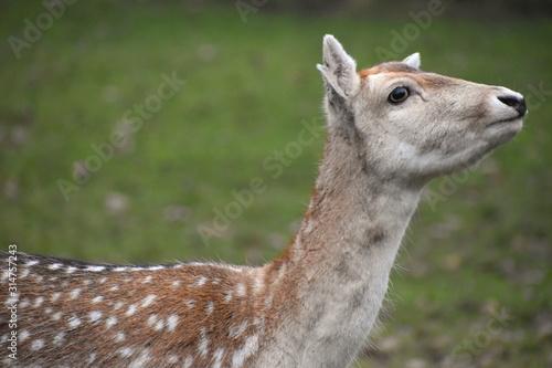 Photo Fallow deer Dama dama is a ruminant mammal Cervidae family