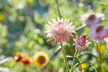 Helichrysum ( Straw Flower) Bl...