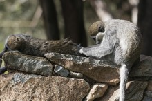 Two Grivet Monkeys, Chlorocebu...
