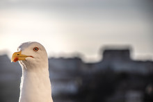 Close-up Of A Wild White Seagull