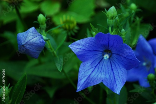 close up of a blue platycodon grandifloras aka balloon flower in the garden