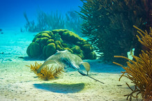 Stingray Swimming Towards Cora...
