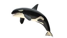 Isolated Killer Whale Orca Clo...