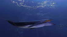 Blue Whale Underwater Close To...