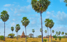 The Tall Palms In Bagan, Myanmar