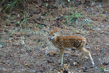 Yearling Deer With Spots