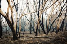 Bushfire Burnt Gum Trees In Th...