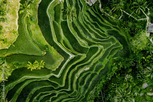 Fototapeta Landscape of the ricefields and rice terrace Tegalalang near Ubud of the island Bali in indonesia in southeastasia. Aerial drone view. obraz